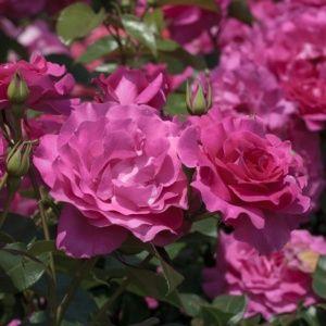 Rosier 'Manou Meilland®' Meitulimon (Rosa x 'Manou Meilland®' Meitulimon)