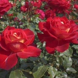 Rosier 'Gipsy®' Kiboh (Rosa x 'Gipsy®' Kiboh)