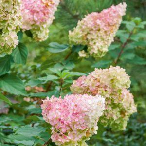 Hortensia Vanille Fraise® (Hydrangea paniculata Vanille Fraise) – Pot de 3 litres – PLANTES ET JARDINS – Jardinerie en ligne