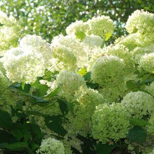 Hortensia 'Annabelle' – pot de 3/4 litres, 5/7 branches, 2 ans d'âge, hauteur 40 cm