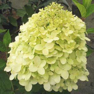 Hortensia paniculata 'Limelight'® (Hydrangea) – Pot de 5 litres  – PLANTES ET JARDINS – Jardinerie en ligne