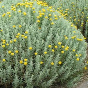 Santoline argentée – Pot de 2 litres – PLANTES ET JARDINS – Jardinerie en ligne