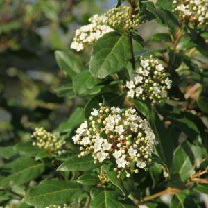 Laurier tin x 2 (Viburnum tinus)