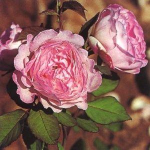 Rosier ancien 'Lisette de Béranger' (Rosa 'Lisette de Béranger')