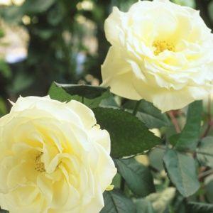 Rosier ancien 'Gloire Lyonnaise' (Rosa x 'Gloire Lyonnaise')