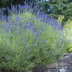 Lavande intermedia dutch – Lot de 3 godets de 7 cm – Arbuste persitant à fleurs