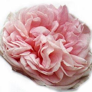 Rosier ancien 'Gloire Des Mousseux' (Rosa 'Gloire Des Mousseux')