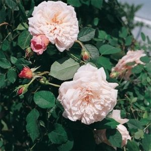 Rosier 'Mme Wagram' Comtesse de Turenne (Rosa x 'Mme Wagram' Comtesse de Turenne)