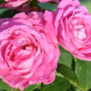 Rosier ancien 'Mrs John Laing' (Rosa x 'Mrs John Laing')