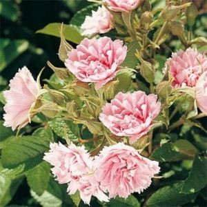 Rosier 'Pink Grootendorst' (Rosa 'Pink Grootendorst')