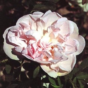 Rosier ancien 'Stanwell Perpetual' (Rosa x 'Stanwell Perpetual')
