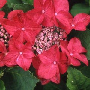 Hortensia 'Fasan' – pot de 3 litres, 5/7 branches