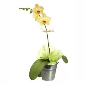 Adonide goutte de sang semer planter entretenir avec for Entretenir une orchidee en pot
