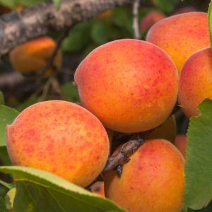 Abricotier PRECOCE DE SAUMUR : taille en gobelet