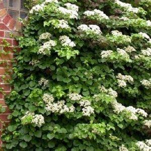 Hortensia grimpant (Hydrangea petiolaris) – Pot de 3 litres avec forme tipi – PLANTES ET JARDINS – Jardinerie en ligne