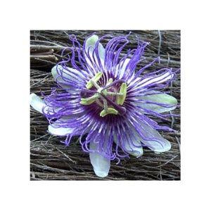 Passiflore caerulea (Passiflora caerulea)
