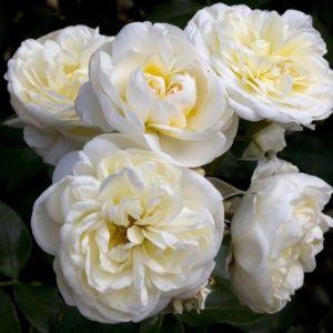 Rosier 'Lady Romantica®' Meiperette
