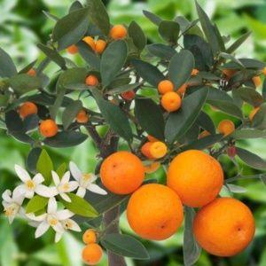 Kumquat 'Hong Kong'
