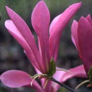 Magnolia 'Susan' – Pot de 10 litres, hauteur 60/100 cm, 5 ans d'âge