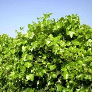 Lierre d'Irlande (Hedera helix hibernica) – pot de 1 litre – PLANTES ET JARDINS – Jardinerie en ligne