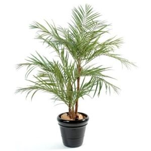 Areca 3 pieds 1m70 + pot classique (Chrysalidocarpus lutescens)