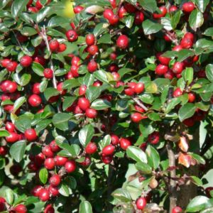 Cotoneaster franchetii (Cotoneaster franchettii)