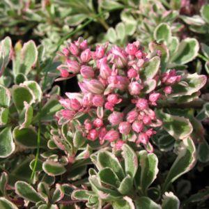Sedum spurium variegatum tricolor
