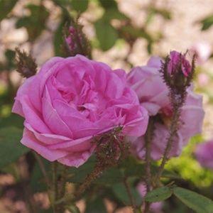 Rosier 'Joséphine de Beauharnais' (Rosa x 'Joséphine de Beauharnais')