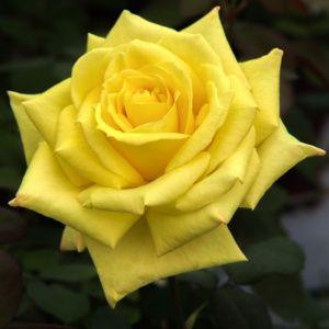 Rosier 'Nicolas Hulot®' Meifazeda (Rosa x 'Nicolas Hulot®' Meifazeda)