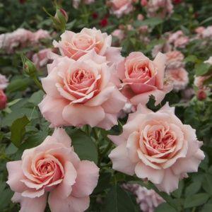 Rosier 'Botticelli®' Meisylpho (Rosa x 'Botticelli®' Meisylpho)