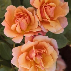 Rosier 'Tequila®' Meipomolo (Rosa x 'Tequila®' Meipomolo)