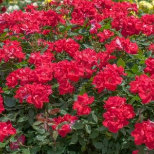 Rosier 'Knock Out®' Radrazz (Rosa  x 'Knock Out®' Radrazz)