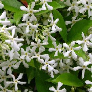 Jasmin persistant (Trachelospermum) – pot de 1,5 litre (14 à 18 mois de culture) – PLANTES ET JARDINS – Jardinerie en ligne
