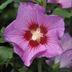 Planter des hibiscus de jardin ou Althéa  Le Magazine ...