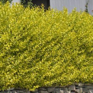 Troène de Californie Aureum doré – Pot 4L – Hauteur 60/80 cm