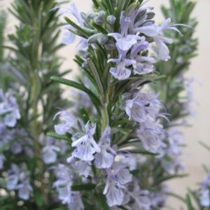 Romarin officinal (rosmarinus officinalis) – Pot 3 litres – PLANTES ET JARDINS – Jardinerie en ligne