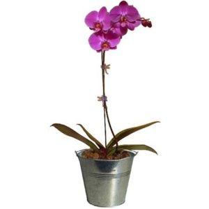 Orchidée rose (1 hampe florale) plante verte – Hauteur totale 55/60 cm + cache-pot zinc – PLANTES ET JARDINS – Jardinerie en ligne