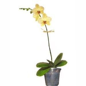 Orchidée orange (1 hampe florale) plante verte – Hauteur totale 55/60 cm + cache-pot zinc – PLANTES ET JARDINS – Jardinerie en ligne