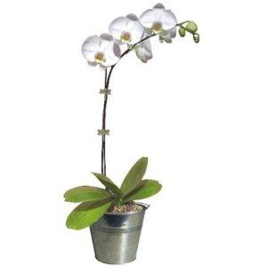 Orchidée : Phalaenopsis blanc pur en fleurs (1 hampe florale ramifiée) + cache-pot zinc