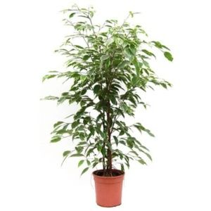 Ficus arrosage rempotage gamm vert for Arrosage plante interieur