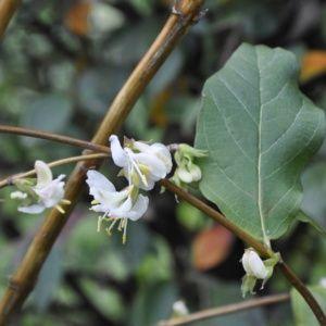 Chèvrefeuille odorant d'hiver – Pot de 3L – hauteur 40/60 cm – Lonicera fragrantissima