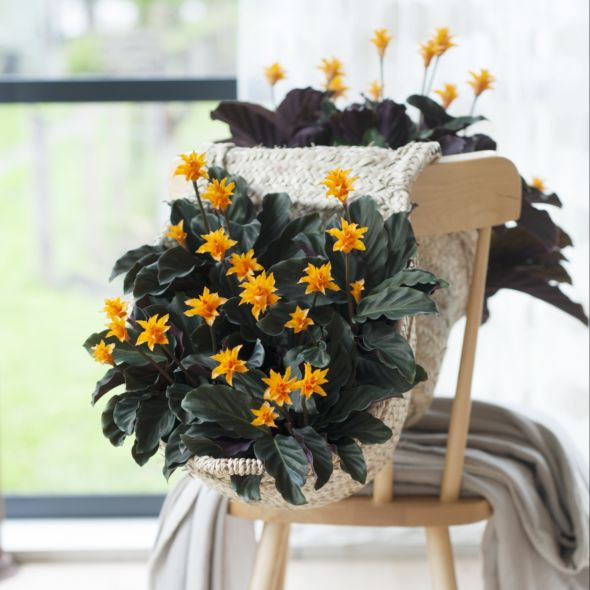 calathea crocata with plantes d intrieur originales fleurs rares. Black Bedroom Furniture Sets. Home Design Ideas