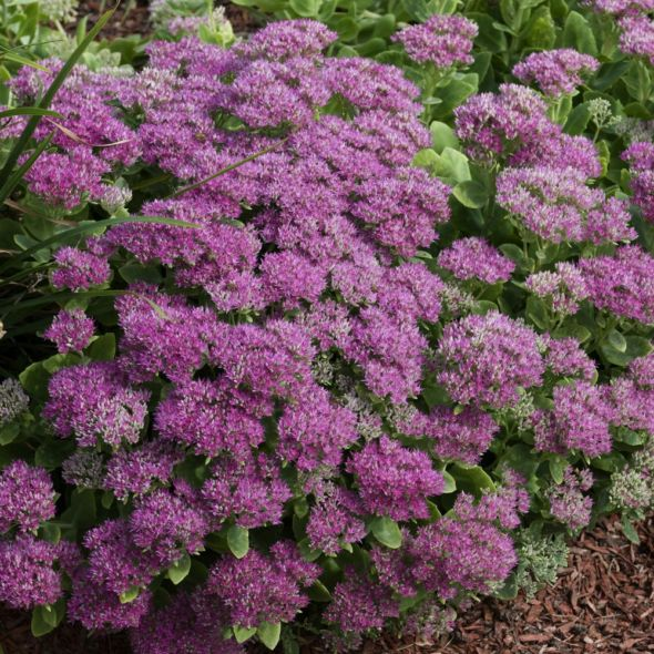 Sedum spectabile Carl