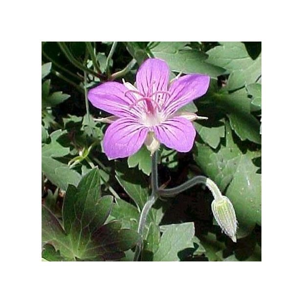 G ranium vivace wlassovianum plantes et jardins for Geranium d interieur