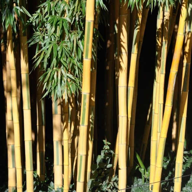 bambou g ant phyllostachys bambuso des 39 castillonis 39 plantes et jardins. Black Bedroom Furniture Sets. Home Design Ideas