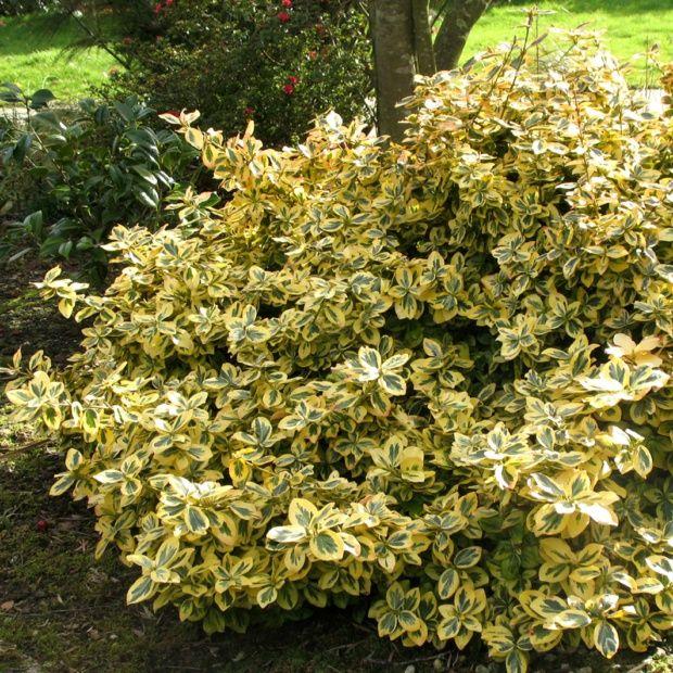Fusain 39 emerald n gold 39 plantes et jardins for Plantes arbustes vivaces