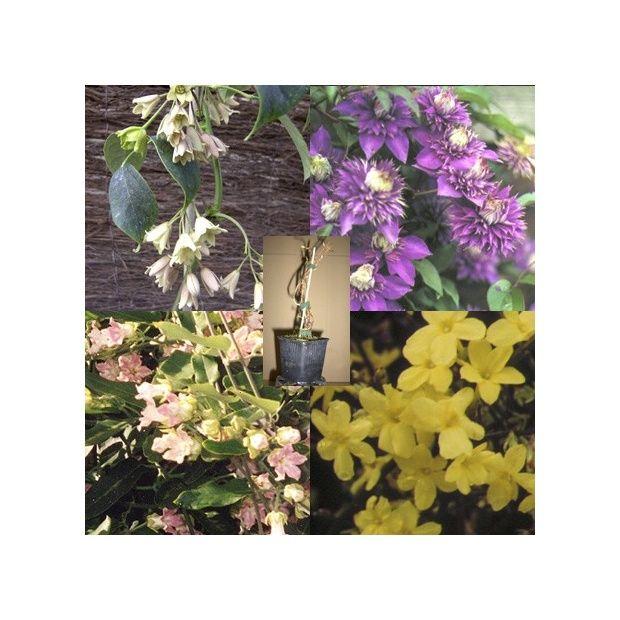 collection de 4 grimpantes floraison chelonn e toute l 39 ann e plantes et jardins. Black Bedroom Furniture Sets. Home Design Ideas