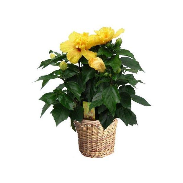 hibiscus jaune hauteur 50 60cm cache pot plantes et jardins. Black Bedroom Furniture Sets. Home Design Ideas