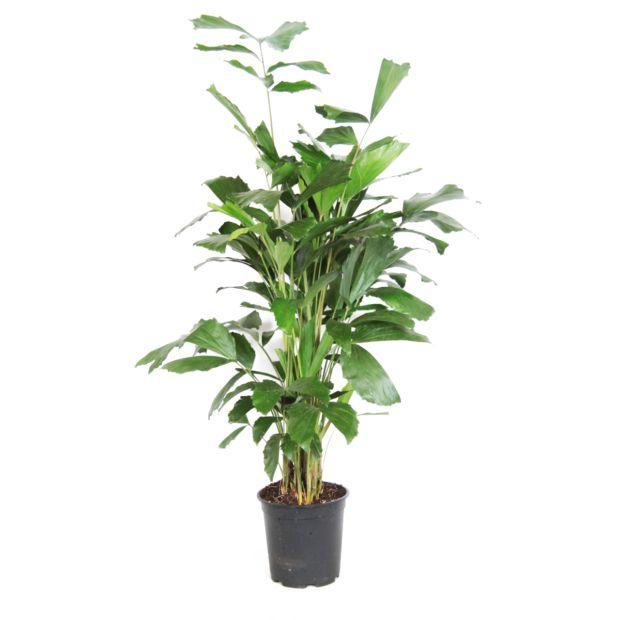 Palmier caryota mitis plantes et jardins for Grande plante verte exterieur