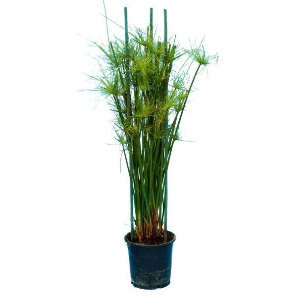 papyrus cyperus haspan plantes et jardins. Black Bedroom Furniture Sets. Home Design Ideas